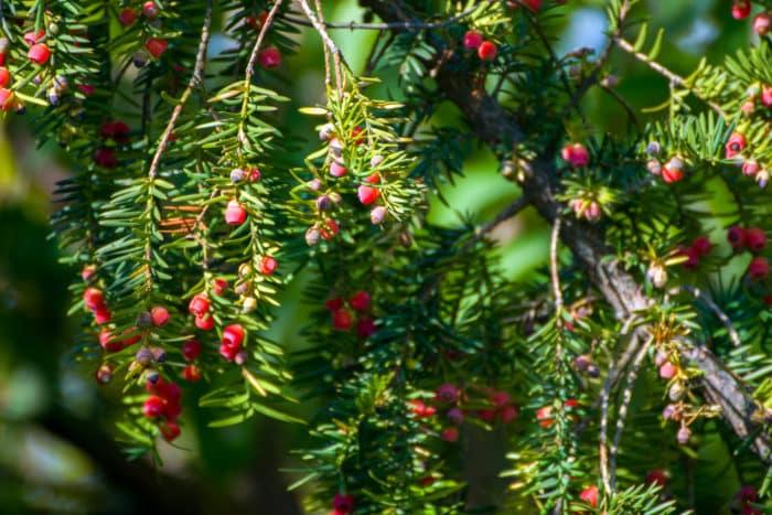 giftpflanzen eibe