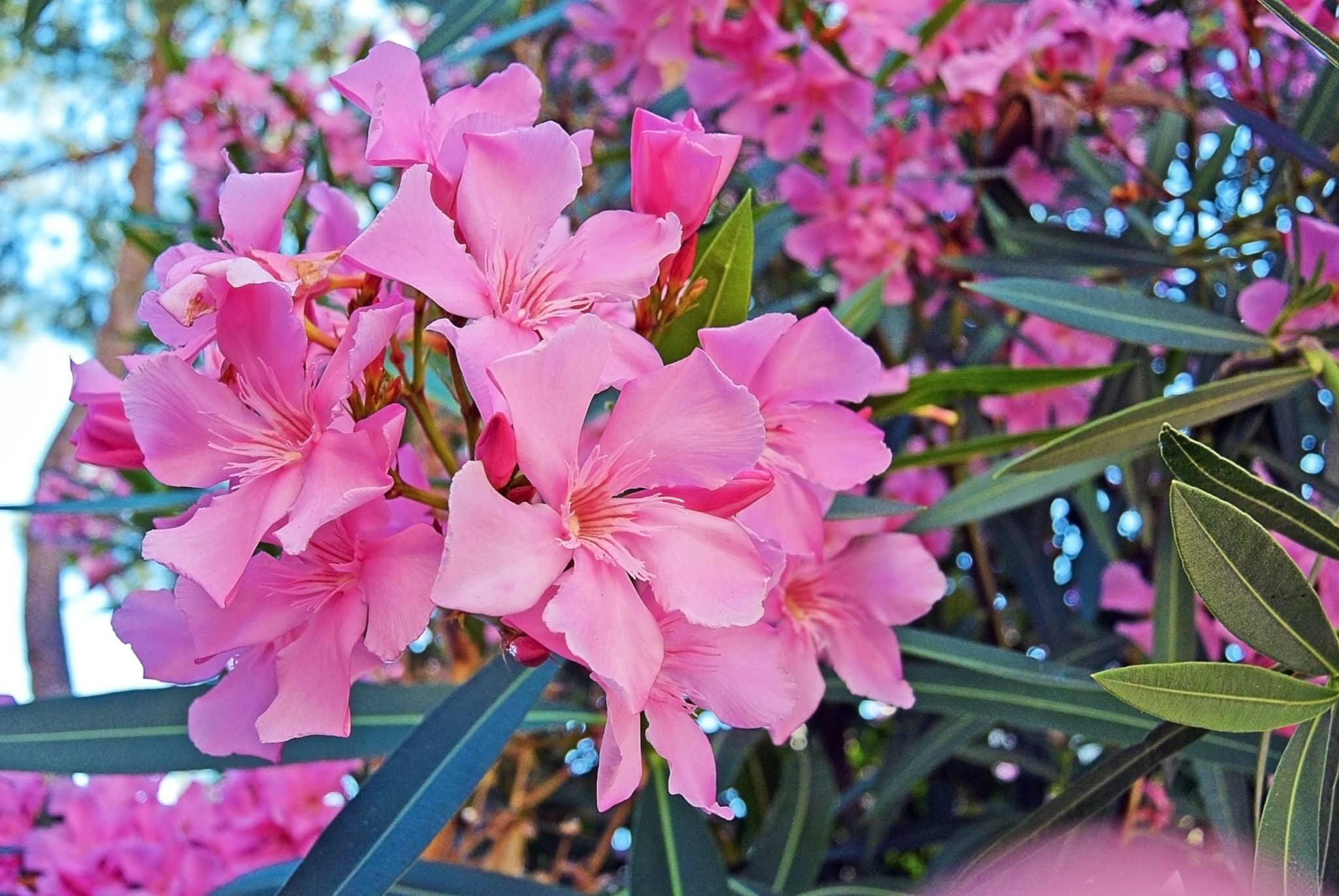 oleander giftig