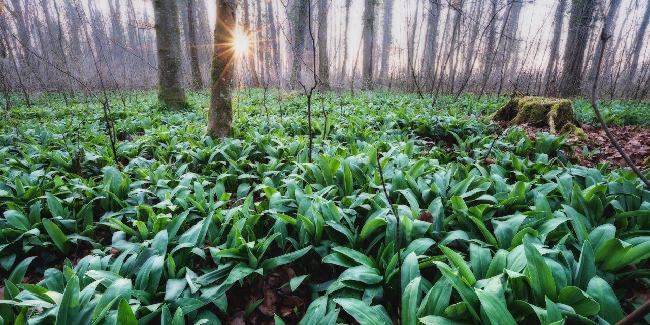Bärlauch und Waldmeister: Pflanzenportrait