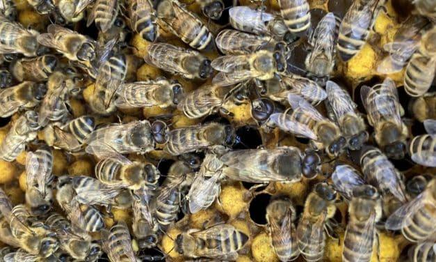 Was wir für den Schutz der Bienen tun können: 26 Tipps für euch